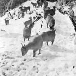Goats at Mt. St. Bernard Hospice pre 1934